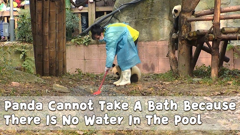 Panda Cannot Take A Bath Because There Is No Water In The Pool iPanda