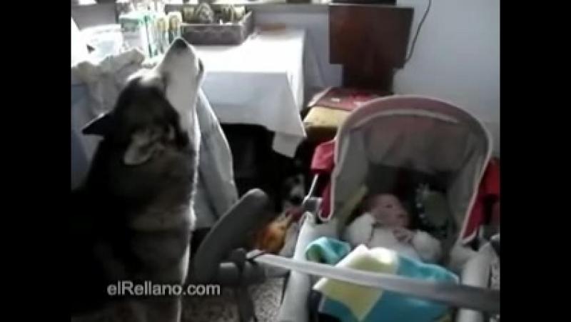 Малыш начал плакать и не мог успокоиться. То, что для него сделала собака — просто бесподобно!