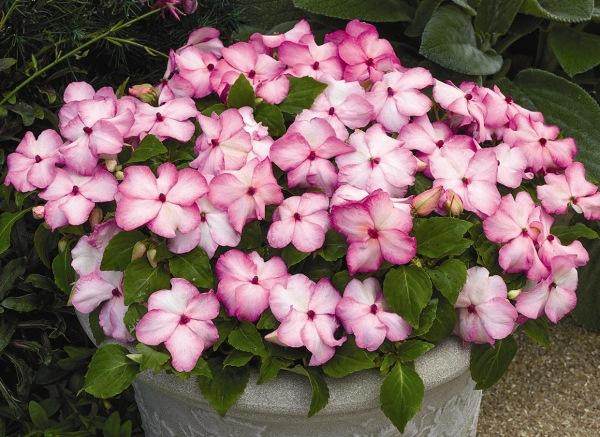 Бальзамин – комнатное растение, которое давно обосновалось на наших подоконниках. Уход за ним не составляет труда.     Они быстро растут, легко размножаются, обильно, ярко и долго цветут.
