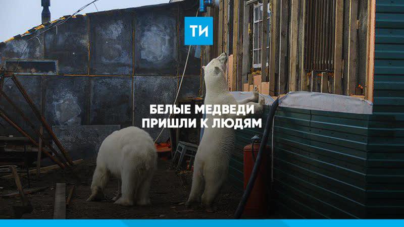 Белые медведи пришли к людям