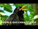 MERLE NOIR - Beau chant du Merle - chant d'oiseau