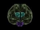 Анатомия промежуточного мозга таламуса и гипоталамуса