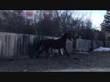 Презентация лошади Соперница
