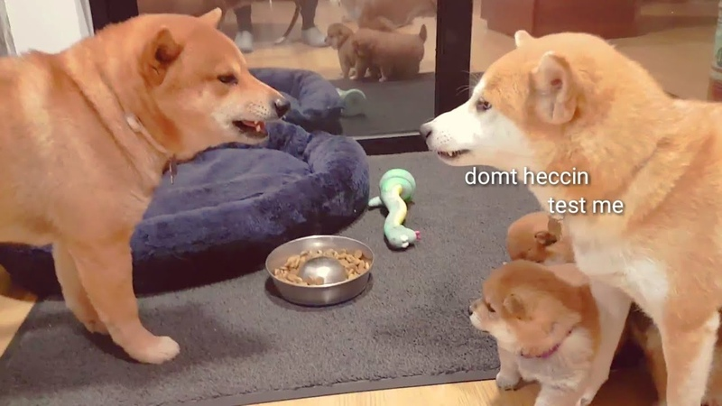 Daddo got mom very A M G E R Y / Shiba Inu puppies (with captions)