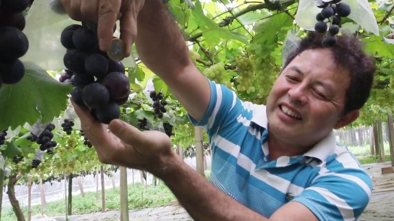 UVAS FINAS QUANDO COLHER, 05 Plantar em Casa