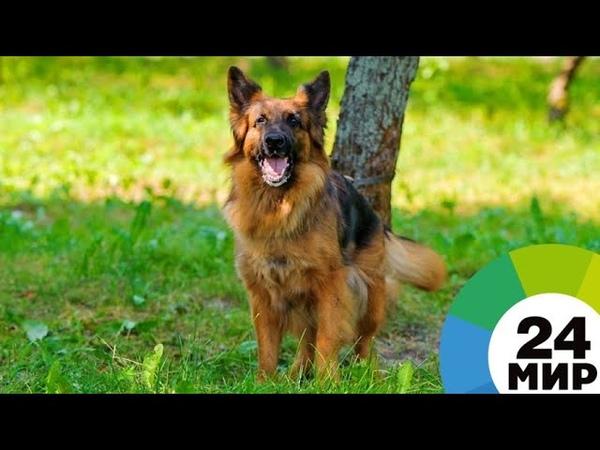 Хвостатый страж порядка скончался пес из Возвращения Мухтара 2 МИР 24