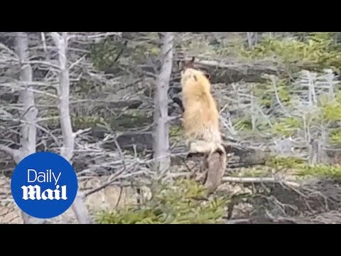 Fox makes dramatic jump from tall tree to capture food for cubs Daily Mail