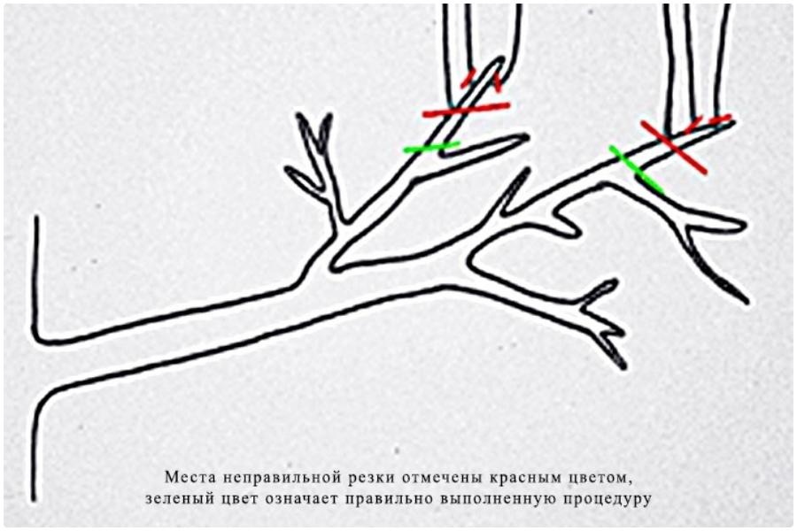 Формирование заниженной кроны путем обрезки - схема резки мал.веточек