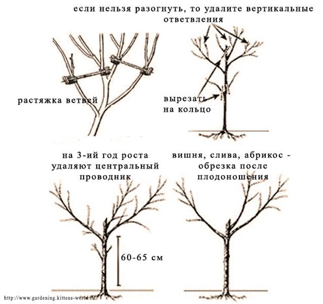 Формирование заниженной кроны путем обрезки - схема обрезки на занижение кроны, если нельзя растянуть ветви
