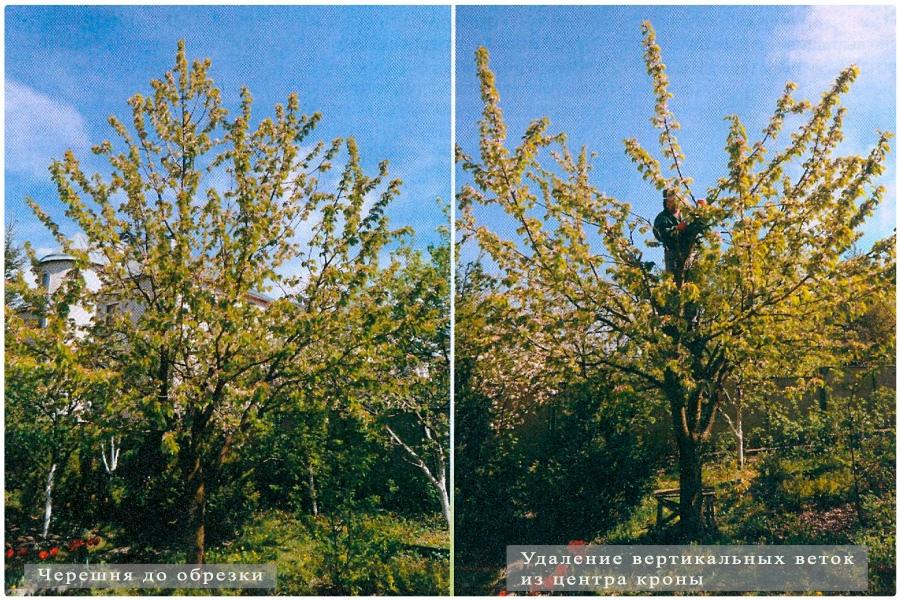 Формирование кроны плодовых деревьев, понижающая обрезка, черешня