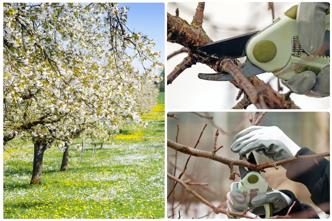 Формирование кроны плодовых деревьев, понижающая обрезка и раскрытие