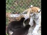 Две выдры и младенец-тигр