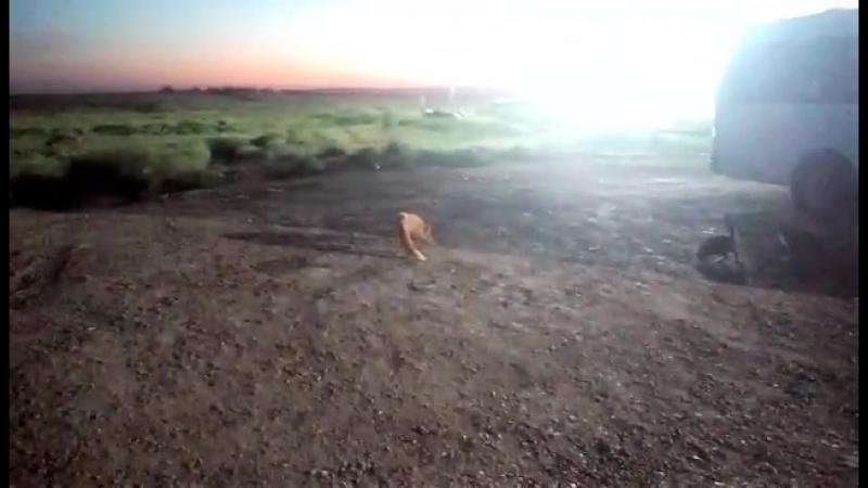 Ручная лисичка на Чонгаре