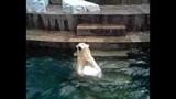В Новосибирском зоопарке медведица удивила посетителей!!! Браво Герда!!! 28.06.16
