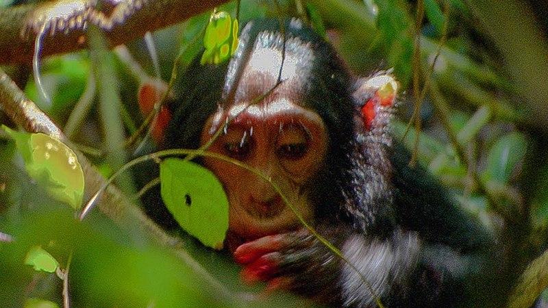 Chimpanzees Hunt for a Colobus Monkey BBC Earth