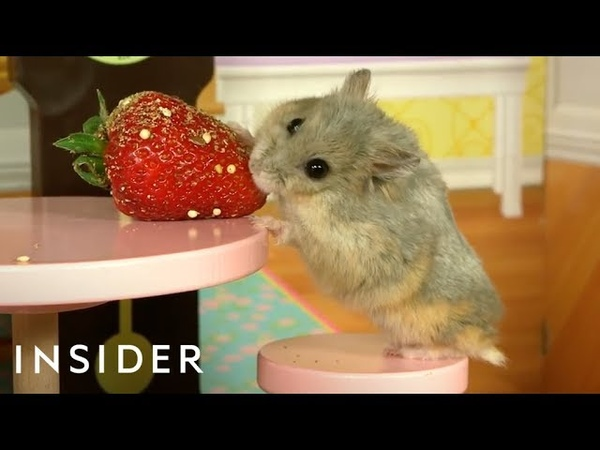 Dwarf Hamsters Live In A Tiny Mansion