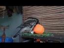 Ты - не ты, когда голоден! Сова хочет ушатать и съесть оранжевый шар 0.mp4