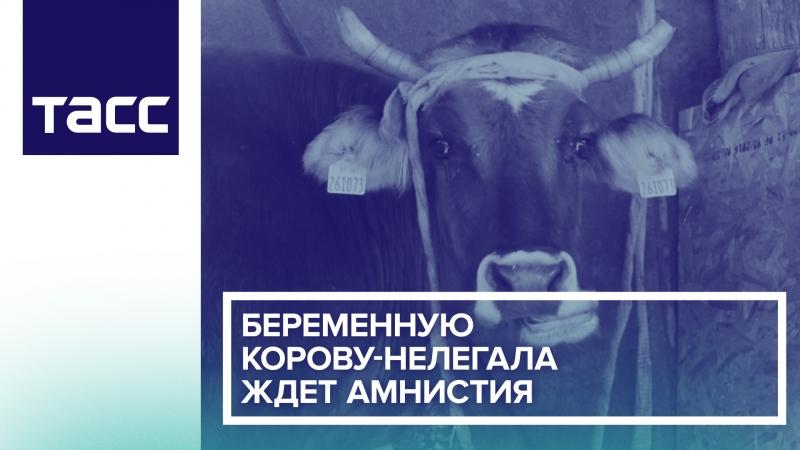 Беременную корову-нелегала ждет амнистия