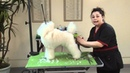 Setting a Show Poodle Trim on a 7 Month Old Puppy with Irina (Pina) Pinkusevitch