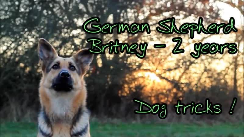 Dog tricks by German Shepherd Britney - 2 years