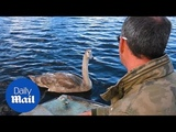 Adorable moment hand-reared cygnet is reunited with its carer