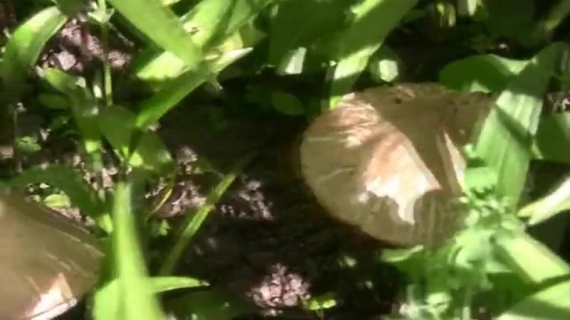 ШАМПИНЬОНЫ ПОД МОИМ ОКНОМ (champignon)-sha-po-mo-ok-sport-grib-texf-scscscrp