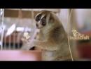 Лемуры - самые милые животные в мире)