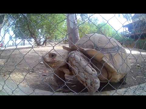 Тунис Зоопарк Фригия Целеустремленная гигантская черепаха