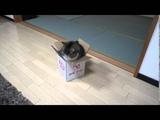 Как залезть в маленькую коробку, если ты толстый кот Я просто умирала со смеху