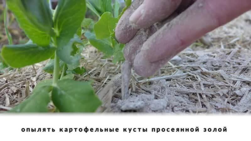 6 самых экономных способов борьбы с колорадским жуком