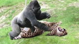 LIVE Wild Animals Ultimate Fights Gorilla vs Leopard Let's Explore the Animal Planet 2019