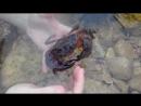 В поисках мега-краба Ручные крабы - 2