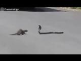 Кобра против мангуста