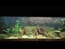 Стая тетр в большом аквариуме