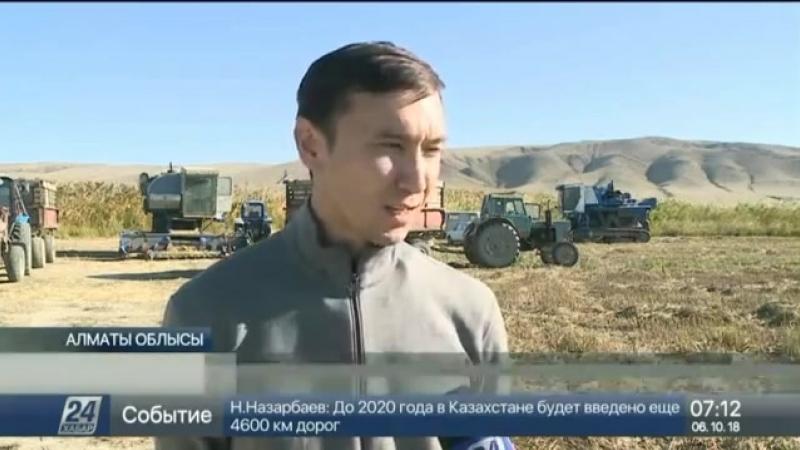 Алматы облысында күріш ору науқаны қызу жүріп жатыр