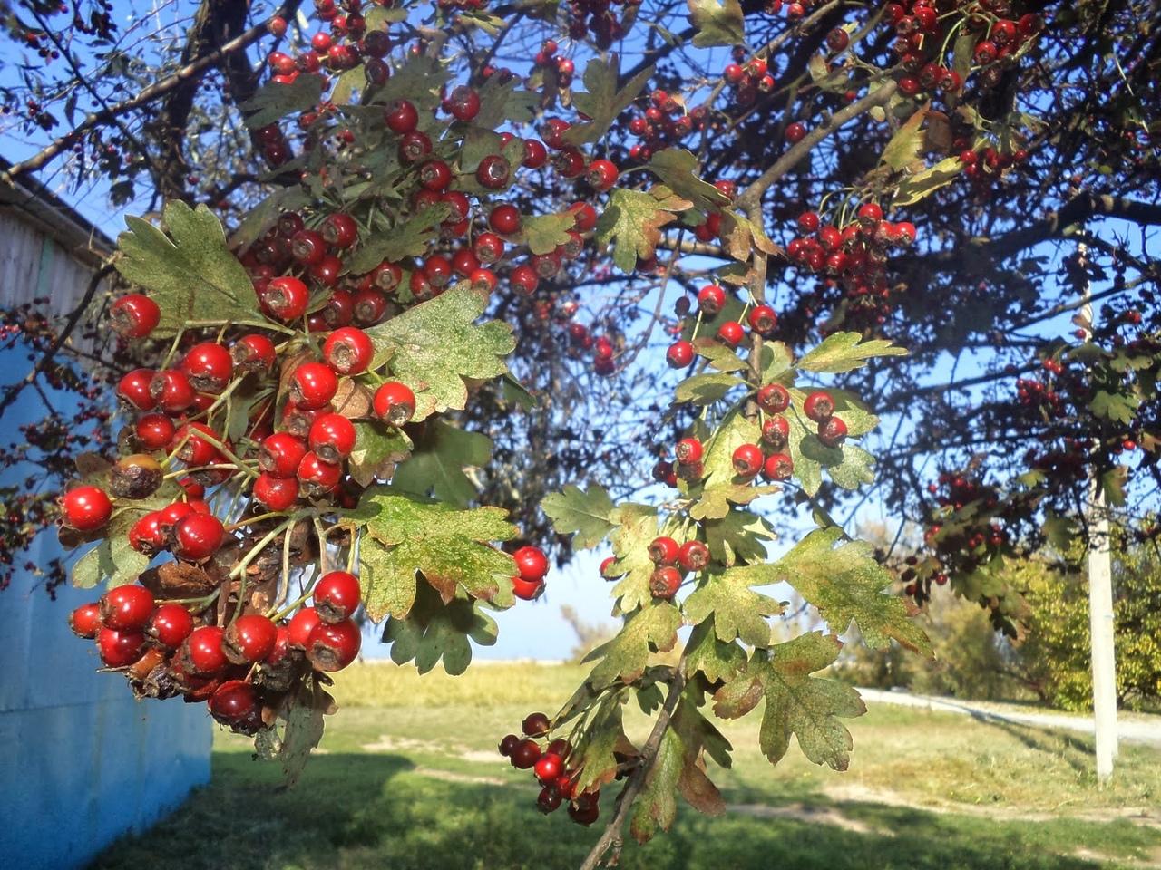 боярышник дерево фото плоды