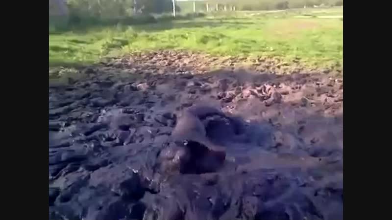Пес валяется в грязи gtc dfkztncz d uhzpb