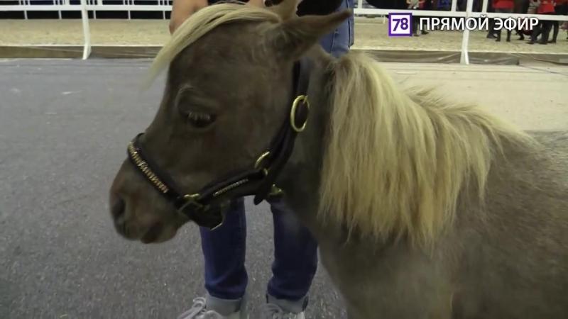 Самый маленький в мире жеребенок готовится показать себя на конной выставке. Пря