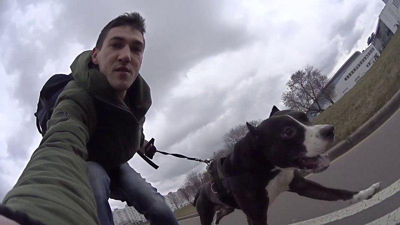 Дрессировка собак в Минске || Риддик Американский Питбультерьер