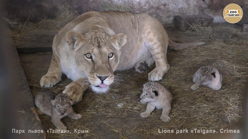 Львица Лола из Челябинска родила тройню. Lioness Lola from Chelyabinsk gave birth to triplets.