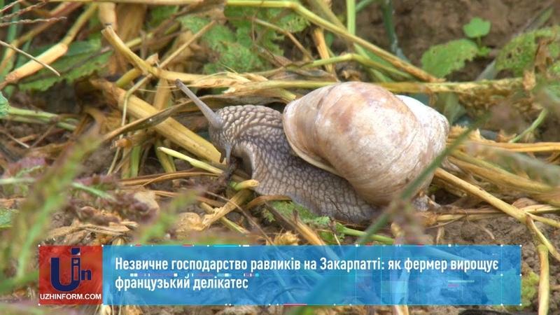 Незвичне господарство равликів на Закарпатті як фермер вирощує французький делікатес