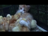Котёнок и птенцы