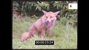 Fox in Garden, UK Wildlife from 35mm