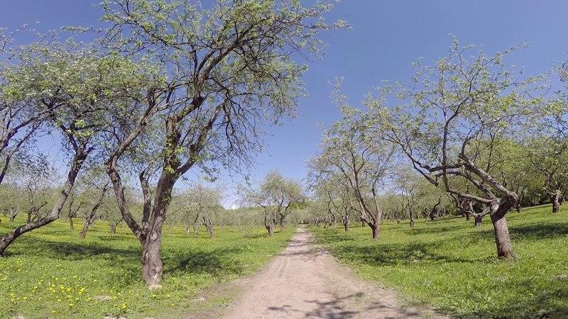 Цветущие яблоневые сады в Коломенском. Часть 3