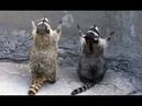Смешное видео с енотами Смешные еноты полоскуны Приколы с енотами 2018 – Смешные кошки МатроскинТВ