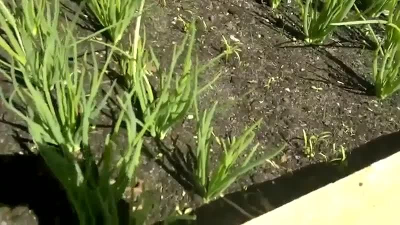 Морковь ,прополка ножницами-Школа цветоводства и садоводства