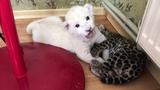 Белый львенок и ягуар! White lion cub and jaguar!