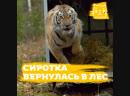 Амурская тигрица впервые родила на воле после спасения человеком