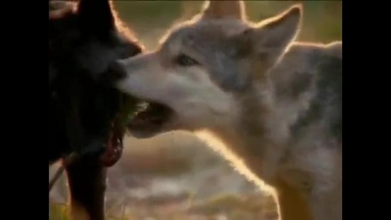 Wolf Native American Sacred Spirit Yeha Noha