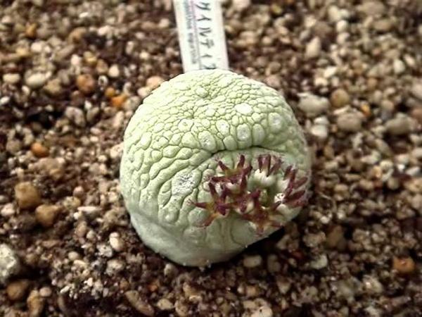 変な植物ミグイルティヌス Strange plant migiurtinus